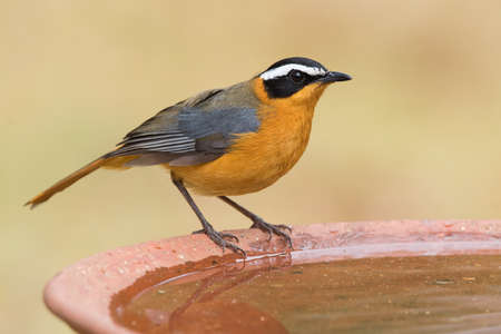 south african birds: White-browed robin-chat Cossypha heuglini standing on the edge a bird bath Stock Photo