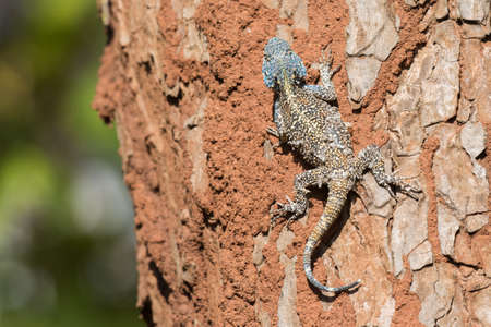 adapted: An Agama Lizard with shedding skin on the trunk of a tree