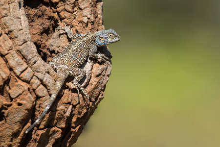 jaszczurka: Agama Lizard spoczywa na pnia drzewa awokado Zdjęcie Seryjne