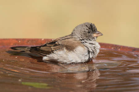 water bird: Southern Grey-Headed Sparrow Passer diffusus with ruffled feathers in a bird bath