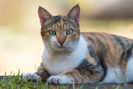 tricoloured: Tri colored house cat staring directly at the viewer Stock Photo