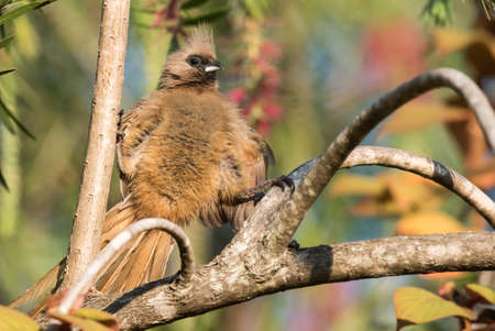 straddle: Speckled mousebird Colius striatus straddling 2 branches Stock Photo
