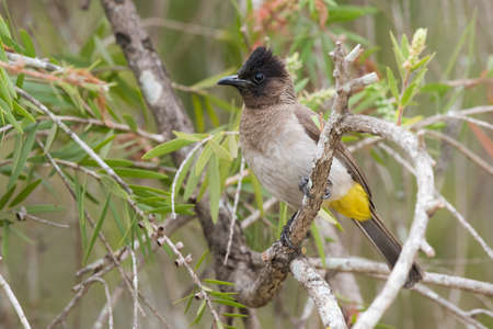 Black-eyed bulbul Pycnonotus barbatus perched in a bottle brush tree Reklamní fotografie