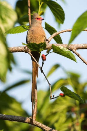 Red-faced mousebird Urocolius indicus perched with entire tail showing