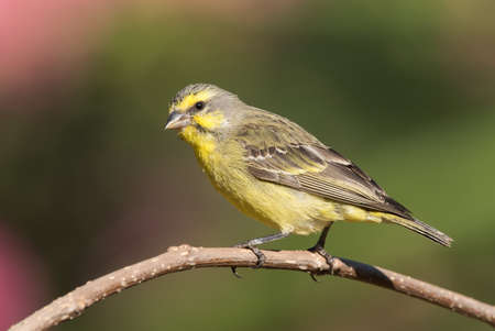 south african birds: Yellow-fronted canary Crithagra mozambicus perched on a branch