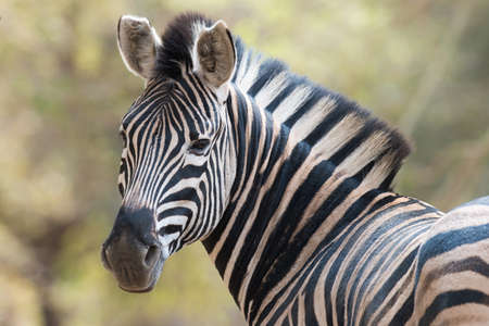 looking at viewer: Portrait of a zebra looking back towards the viewer Stock Photo