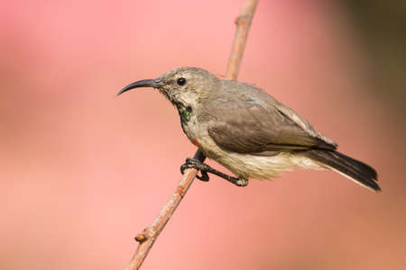 juveniles: Juvenile male Miombo Double-collared Sunbird Cinnyris manoensis hanging on to a branch