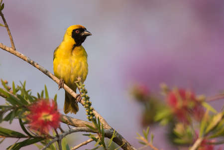 south african birds: Southern masked weaver Ploceus velatus male perched on top of a Bottlebrush tree