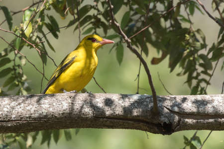 oriole: African golden oriole Oriolus auratus perched on a branch Stock Photo