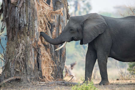 tusk: A female African Elephant with one tusk eating and destroying a baobab tree