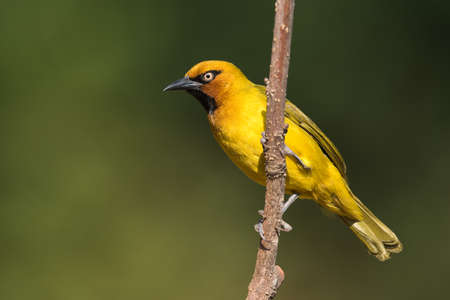 south african birds: Spectacled Weaver Ploceus ocularis male perched on a slender trunk