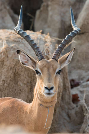snare: A male impala Aepyceros melampus that has broken free from a wire snare