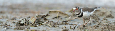 south african birds: Three-banded Plover (Charadrius tricollaris) searching for food in the mud flats