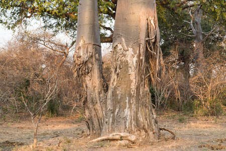 harming: Baobab tree that has been ravaged by elephants