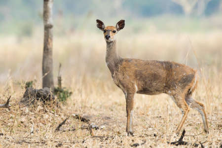 mangy: Female Bushbuck Tragelaphus sylvaticus in very poor condition