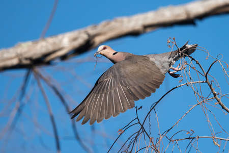 nesting: Red-eyed dove (Streptopelia semitorquata) taking flight with a small stick for a nest