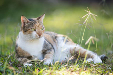 A tri colored house cat lying in grass Stock Photo