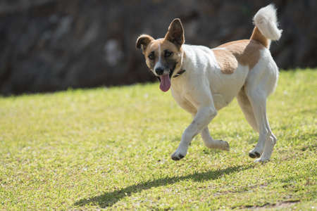 bounding: A white and brown patched dog bounding on a lawn Stock Photo