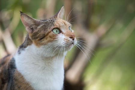 tricoloured: Portrait of a tri colored house cat looking up with interest Stock Photo
