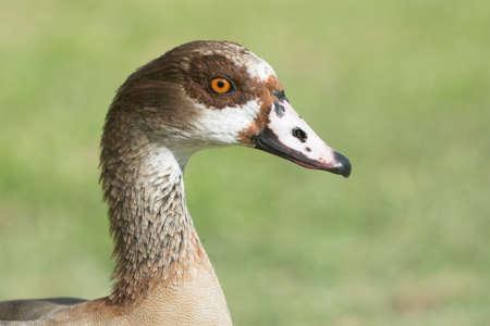 alopochen: Portrait of an Egyptian goose (Alopochen aegyptiacus)