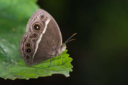 Common Bush Brown butterfly (Bicyclus safitza) resting on a leaf