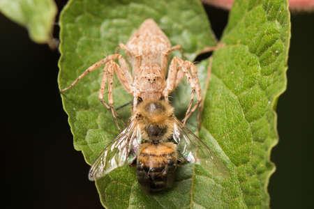 apis: Lynx spider with common bee (Apis melifera)