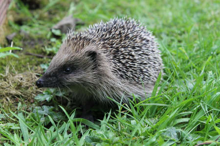 Wild hedgehog Stock Photo - 84108144