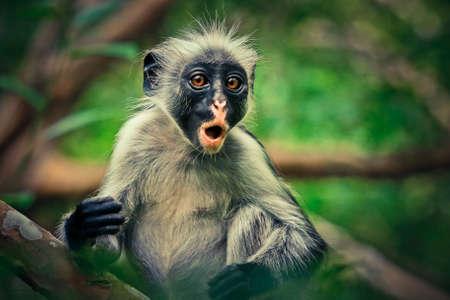 Colobus, endemic monkey in jozani forest, Zanzibar Tanzania
