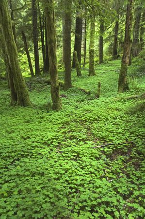 A blanket of clover covers a Pacific Northwest forest floor photo