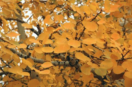 Aspen Leaves Background Stock Photo