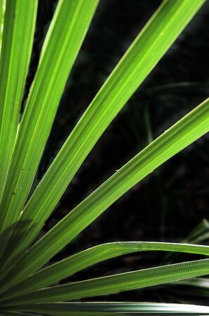 palm frond: Palm fronda