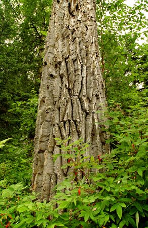 A Balsam Poplar in Alaska's Chucach Mountains