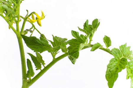 An organic tomato plant is isolated against a white background