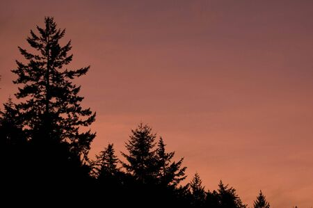 A beautiful sunset against Douglas-fir trees in the Pacific Northwest of the United States