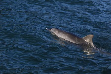 Dolphin in Nelson Bay, Australia.