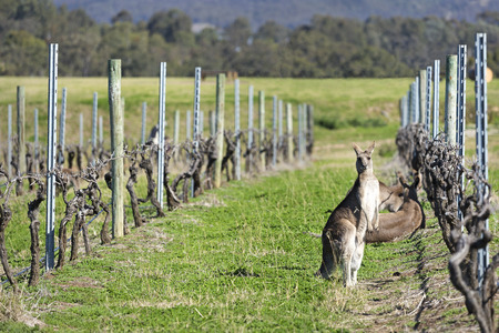 Kangaroos in the vineyard in Australia.
