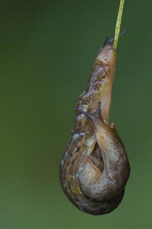 Snails intercourse.