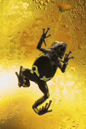 Small poison dart frog on the wet glass. Stock Photo