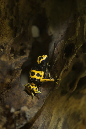 Small poison dart frog.