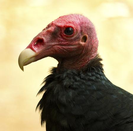 Portrait de vautour rousse.