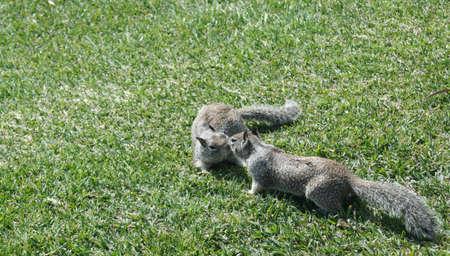 kisssing  squirrels  1 Stock Photo