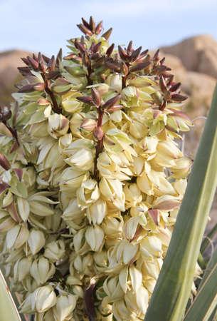 giant wild cactus flower in full bloom Stock Photo