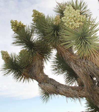 Five Joshua Tree flowers blooming against blue desert sky photo