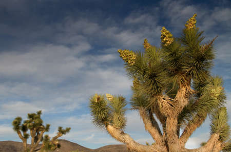 Multi-flowered Joshua Tree against cloudy dark blue sky Stock Photo - 19497083