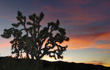 Lone Joshua Tree shadow against colorful desert sunset