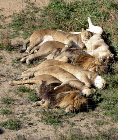 Six adult lions piled together like sleeping kittens