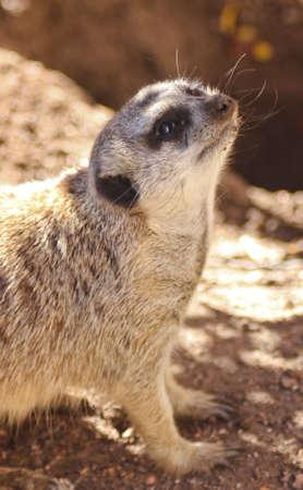 half body: Meerkat meercat face shot and half body