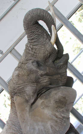 smiling elephant with it s trunk curled into it s mouth 版權商用圖片