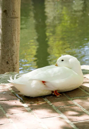 Duck 版權商用圖片
