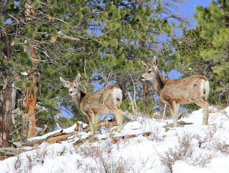 Two mule deer foraging for food on snowy hillside